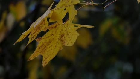 Oregon-Yellow-Leaves-On-A-Damp-Day