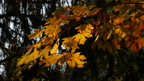 Oregon-Yellow-Leaves-With-Sun-Shining-Through