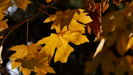 Oregon-Yellow-Maple-Leaves-Glowing