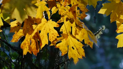 Oregon-Yellow-Maple-Leaves-With-Brown-Spots