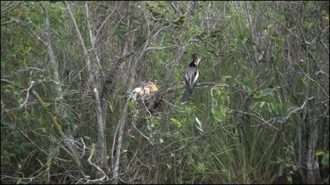 Florida-Everglades-Anhinga-With-Chicks