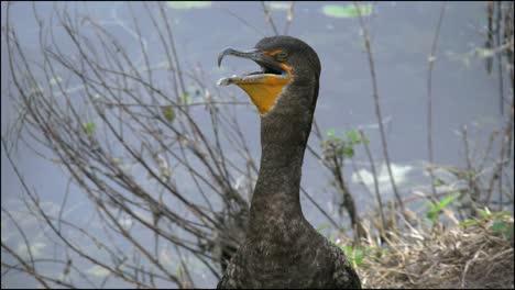 Florida-Everglades-Cormorant-Breathing