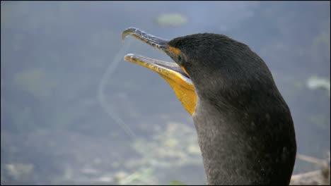 Florida-Everglades-Cormorant-s-Beak-And-Moving-Throat
