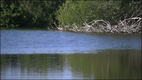Florida-Everglades-Eco-Pond-Egret-Flies-Past
