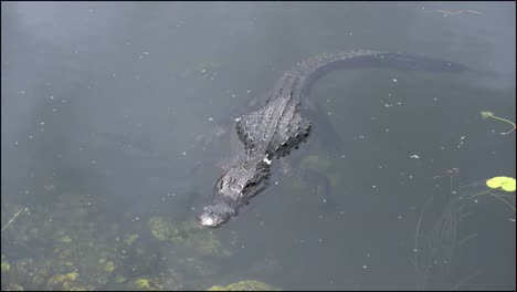 Florida-Everglades-Alligator-Floats-Along