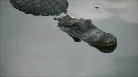 Florida-Everglades-Alligator-Lifts-Head-A-Little