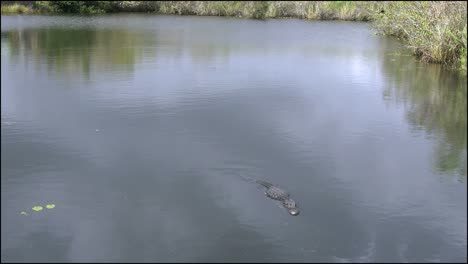 Florida-Everglades-Alligator-Looking-Down