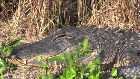 Florida-Everglades-Alligator-Lying-On-Bank-With-Open-Eye-Zooms-Out