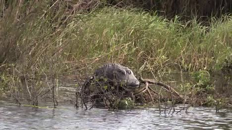 Florida-Everglades-Alligator-On-A-Log-In-Lake