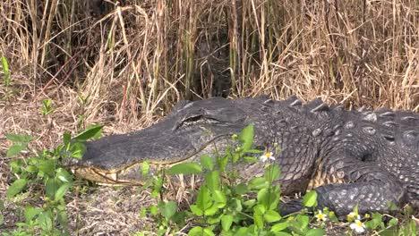 Florida-Everglades-Alligator-On-Bank-Zooms-In-On-Eye