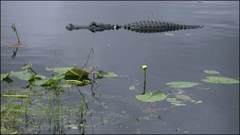Florida-Everglades-Alligator-Turns-Rapidly-Past-Lilies