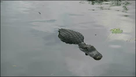 Florida-Everglades-Alligator