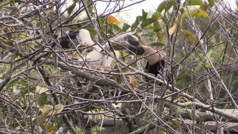 Florida-Everglades-Anhinga-Chick-Has-Head-Down-Parent-Throat-While-Being-Fed