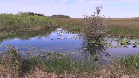Florida-Everglades-Bird-Swimming-In-Distance