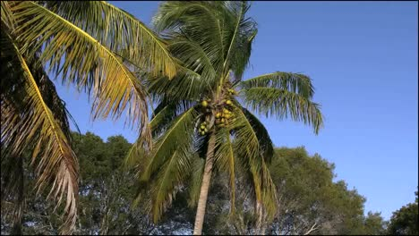 Florida-Everglades-Coconut-Palm-Zooms-In
