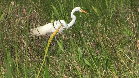Florida-Everglades-Egret-In-Tall-Grass