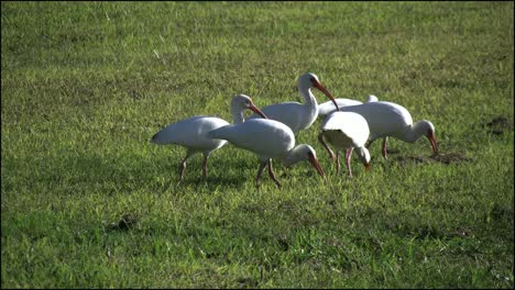 Florida-Everglades-Flock-Of-Ibis-Feeding-In-Grass