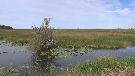 Florida-Everglades-Grass-And-Water-With-Anhinga-In-Bush