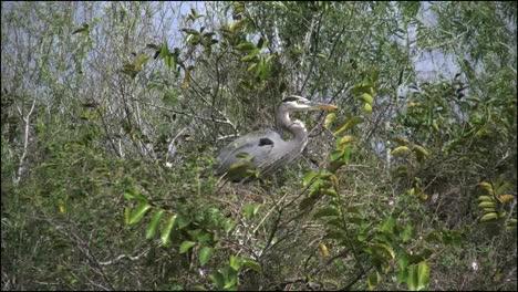 Florida-Everglades-Heron-In-Trees