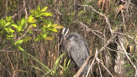 Florida-Everglades-Heron-Uses-Beak-To-Clean-Feathers