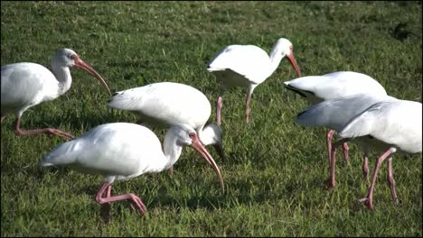 Florida-Everglades-Ibis-Flock-Walking-By-Feeding