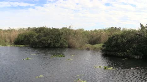 Florida-Everglades-Lake-Zooms-Toward-Alligator