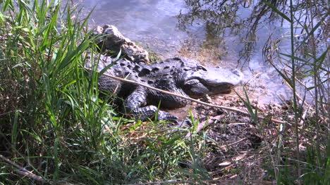 Florida-Everglades-Old-Alligator-In-Lake-Zoom-In