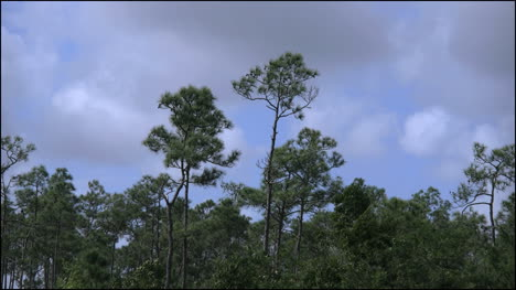 Florida-Everglades-Pines-Blowing-In-The-Wind-Clouds