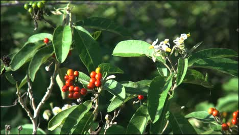 Florida-Everglades-Red-Berries-In-Wind