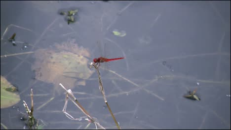 Florida-Everglades-Red-Dragon-Fly-Leaves-And-Returns
