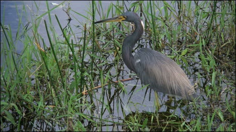 Florida-Everglades-Tricolored-Heron-By-Water