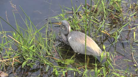 Florida-Everglades-Tricolored-Heron-Catches-Food
