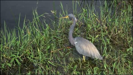 Florida-Everglades-Tricolored-Heron-In-Sun