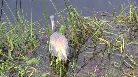 Florida-Everglades-Tricolored-Heron-Turns-Head-And-Gets-Food