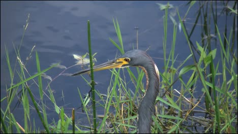 Florida-Everglades-Tricolored-Heron-s-Head