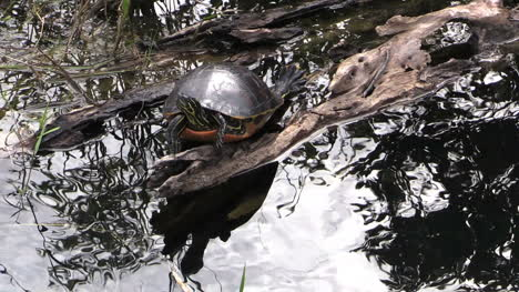 Florida-Everglades-Turtle-And-Bright-Rippling-Water