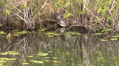 Florida-Everglades-Turtles-On-The-Bank