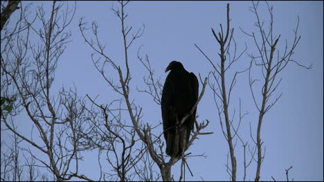 Florida-Everglades-Vulture-Amid-Bare-Branches