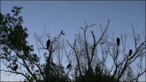 Florida-Everglades-Vulture-Flies-Over-Other-Vultures-In-Tree
