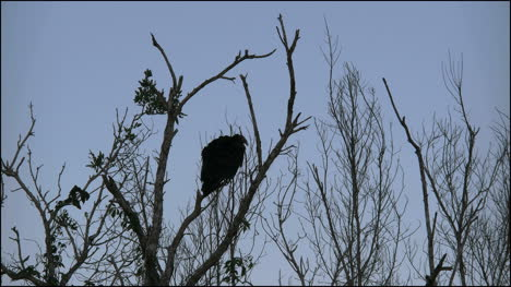 Florida-Everglades-Vulture-Moves-Around-On-Branch