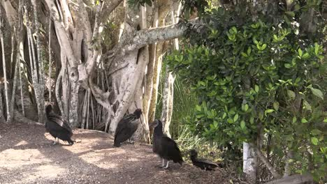 Florida-Everglades-Vultures-Hop-Up-On-A-Bank