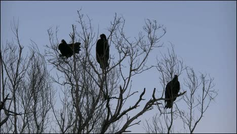 Florida-Everglades-Vultures-Settle-For-Night-And-One-Flies-Away