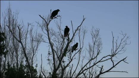 Florida-Everglades-Vultures-Sit-In-Tree