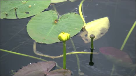 Florida-Everglades-Water-Lily-Bud