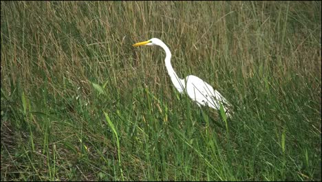 Florida-Everglades-White-Egret-In-Grass-Zooms-Out