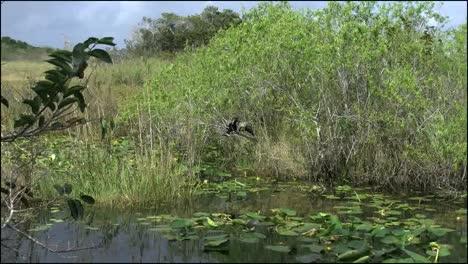Florida-Everglades-Zoom-On-Anhinga