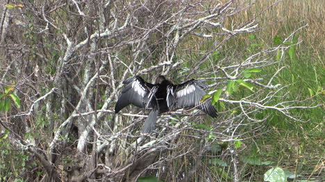 Florida-Everglades-Zooms-Out-From-Anhinga-In-Bush-By-Water
