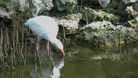 Florida-Ibis-Dips-Beak-In-Water