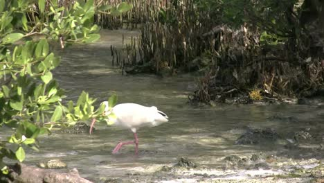 Florida-Key-Largo-Ibis-Wades-Near-Shore