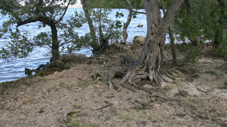 Florida-Key-Largo-Tree-With-Interesting-Roots
